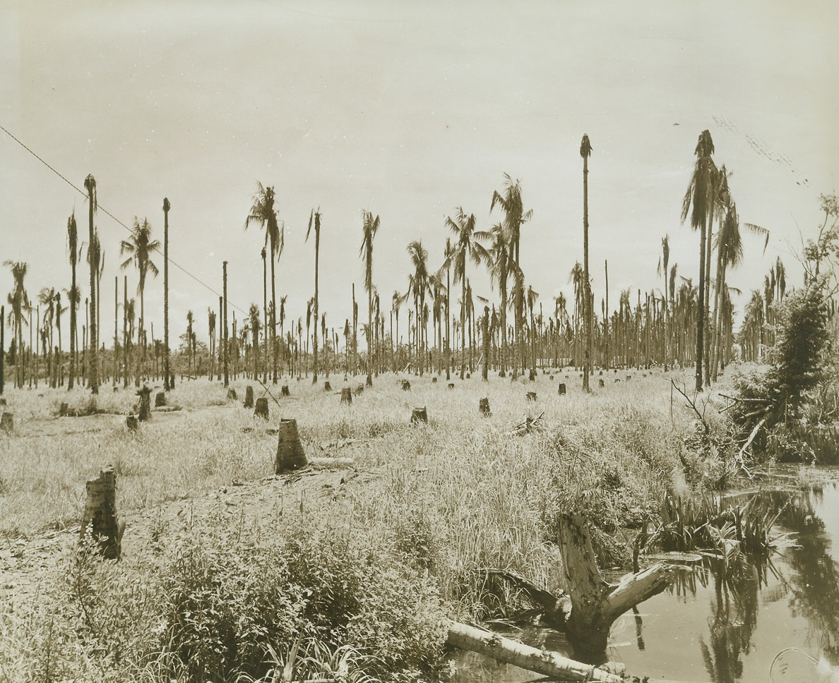 Battle Scars, 5/20/1943. New Guinea - - Although many months have passed since Jap and Allied troops fought here, time and fast-growing jungle vegetation have not yet been able to remove the scars of battle from this field in the Buna area of New Guinea.  Naked, battle-scarred palms and jagged stumps still jut out from thick foliage to tell the story of the fury that raged here.Credit Line –WP- (ACME);
